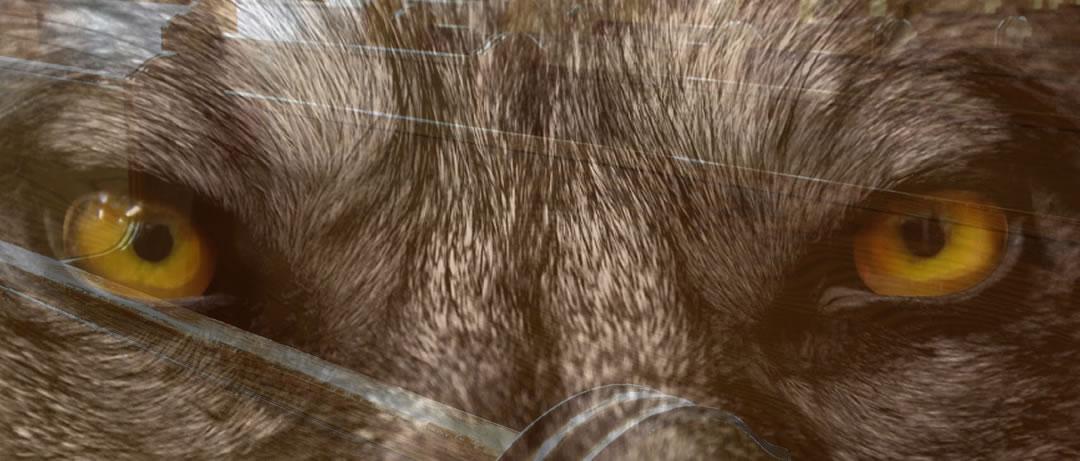 wolf-pews-2-1080-461